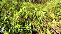 Урожай лесных ягод останется средним – черника страдает от засухи, а морошка от ночных заморозков