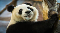 Pandat Lumi ja Pyry kiinnostivat matkailijoita viime vuonna – Ähtärin eläinpuiston kävijämäärä nousi 100 000:lla