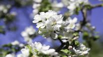 Omenapuut kukkivat etuajassa, mutta sato riippuu pölyttäjien työstä – Näin saat mehiläiset viihtymään pihassasi