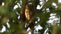 Huippuharvinainen lintu Hämeenlinnassa – kuva vahvisti päiväunilla torkkuneen kyläpöllöseksi