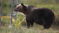 Karhuja kaadettiin ennätyksellisen paljon – määrä kasvoi edellissyksystä yli 40 prosenttia