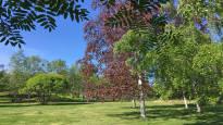 Naurispellon laidalta suosituksi koristepuuksi – harvinaisen punalehtisen koivun juuret ovat Pohjois-Pohjanmaan mullassa