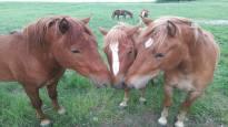 Vapise Pullervo, täältä tulevat orivarsat – isolla egolla varustetut hevoset vievät katsojien sydämet uudessa Orivarsalivessä