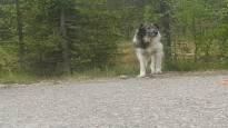 Herra Koira jatkaa Lapin vaellustaan – huhtikuusta asti matkaa tehnyt koira ei ole vieläkään antanut ottaa itseään kiinni