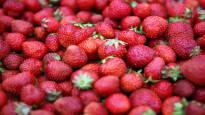 Testasimme, onko 5 kilon mansikkalaatikossa todella sen verran mansikkaa – Viljelijä: