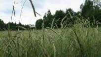 Vanha ruislajike pelastui riihestä löytyneiden seitsemän jyvän ansiosta – maatiaisviljat tuovat maun takaisin ruisleipään ja kaurapuuroon