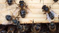 Pohjolan tumma mehiläinen katosi melkein kokonaan – nyt rotu tekee paluuta