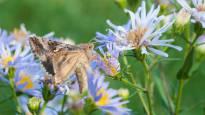Hellekesä saa perhoset turbovaihteelle