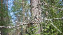 Versosurma runtelee männiköitä ympäri Suomea – sienitauti kuivattaa latvan ja aiheuttaa isoja kasvutappioita