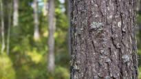Puu tappaa bakteereita, mutta miksi sitä ei hyödynnetä sairaaloissa tai päiväkodeissa? –