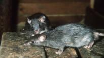 Pitkä rottasota alkaa nyt Pietarsaaren vanhassa puukaupunginosassa –