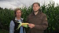 Hellekesä kasvatti komean maissisadon – se voi pelastaa Loukasten tilan lehmiä joutumasta teuraaksi