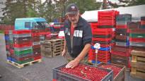 Puolukan hinnat korkeammalla kuin vuosiin – Ostajat pelkäävät marjapulaa