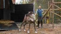 Pientä metsäpeurakantaa vahvistetaan totutustarhalla Karstulassa – yleisöllä tarhalle vapaa pääsy