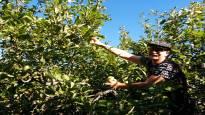 Nyt tehdään siideriä kotipihan omenoista – bloggaaja paljastaa helpon reseptinsä
