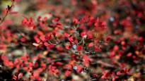 Ruskan väriloisto on tänä syksynä komeampi kuin vuosiin – katso yleisön kuvat