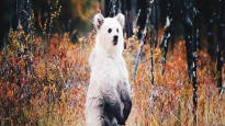 Nuori kuvaaja kuvasi valkoisen karhunpennun eikä ymmärtänyt heti otoksen harvinaisuutta, nyt hänen kuvansa ihastuttaa maailmalla