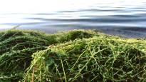 Vesirutto runsastunut Littoistenjärvessä – kemikaalikäsitelty vesi yhä kirkasta