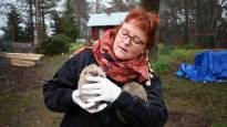 Siilihoitajalle on tuotu syksyllä 130 riutunutta piikkipalloa – villieläinten hoito on vapaaehtoisten varassa ja nyt heitä halutaan valvoa