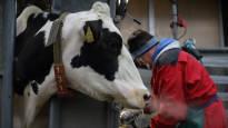 Lähes 300 000 lypsylehmän sorkkia hoitaa vain 80 ammattilaista – pahimmillaan kipeä jalka johtaa lehmän lopettamiseen
