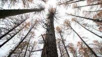 Tässä huojuu Suomen pisin puu – 140-vuotias roikale pitää haastajat loitolla, mutta kuinka pitkään?