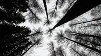 Puun paksuus vaihtelee luultua paljon enemmän – Korjuuhetki voi tuoda satoja euroja paksumman tai ohuemman tilin hehtaarilta
