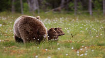Sotkamolaismies palkittiin maailmalla hauskoista karhukuvista: pikkukarhut eivät malttaneet pysyä paikoillaan, vaikka emo komensi