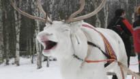 Britit hullaantuivat valkoisista poroista – harvinainen eläin saattaa olla muita laiskempi tai huonokuuloisempi