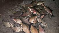 Eurajoessa ei uusia kalakuolemia – pH yhä matala