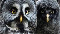 Ville Heikkinen pelasti nälkiintyneen pöllön hiihtoreissulla ja sai kuvata sitä kuukausia – koskettavan luontokuvan takana on usein tuuria