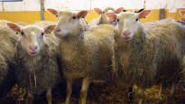 Puolet suomalaisesta lampaanvillasta päätyy roskiin samalla, kun Suomeen tuodaan villaa ulkomailta