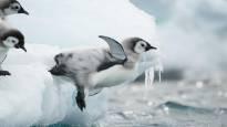 Kömpelönä ja epäröiden hyiseen veteen – satelliittilähettimet antoivat aivan uutta tietoa keisaripingviinin poikasista