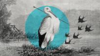 Nuoli kaulassa lentänyt haikara paljasti lintujen muuttavan Afrikkaan – upotuskoe osoitti, etteivät pääskyt talvehdi veden alla