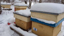 Punkki, ihminen tai vaikka talitiainen voi olla mehiläispesän surma – viime talvena mehiläistarhojen talvitappiot olivat harvinaisen suuret