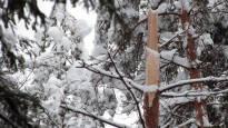 Valtava lumimäärä tekee suurta tuhoa – puiden lumikuormat katkovat puita kuin tulitikkuja