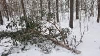 Poikkeuksellinen vaara uhkaa ulkoilijoita Etelä- ja Keski-Suomessa – lumen paisuttamat puiden oksat ja latvat uhkaavat katketa ja tippua ihmisten päälle