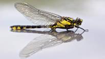 Hyönteislajeja katoaa huolestuttavaa vauhtia, mutta kaikkien hyönteisten häviäminen sadassa vuodessa oli ehkä sittenkin liian raju päätelmä