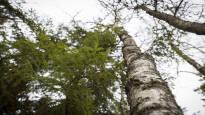 Iso hanke tutkii, miten liito-orava ja maanomistaja pärjäisivät samassa metsässä – edut eivät aina ole kovin kaukana toisistaan