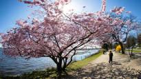 Kevät puhkesi väriloistoon Euroopassa ja viikon muita uutiskuvia