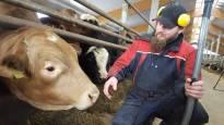 Yhä useampi vasikka syntyy ainoastaan lihan tuotantoa varten – samalla naudanlihan hiilijalanjälki kaksinkertaistuu