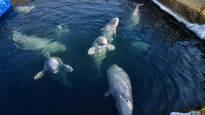 Venäjällä vangitut ja häkeissä pidetyt valaat vapautetaan luontoon – Valaiden puolesta puhui myös presidentti Putin