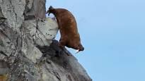 Mursut kiipeävät ilmastonmuutoksen takia kalliolle ja syöksyvät kuolemaan – pakenevatko ne jääkarhuja vai onko syynä heikko näkö?