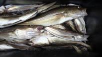 Turskan tilanne Itämerellä on katastrofaalinen –