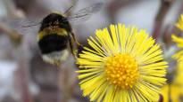 Kevään pörriäiset ovat elämän merkki – pölyttäjähyönteisten kato on iso uhka, seurantaa käynnistellään myös Suomessa