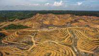 Trooppisten metsien kato jatkuu rajuna – Viime vuonna katosi enemmän kuin Belgian kokoinen alue aarniometsää