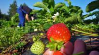 Marjanviljelijät pelkäävät byrokratian myöhästyttävän poimijoiden tuloa mansikkapelloille