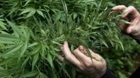 Poliisi paljasti useita kannabisviljelmiä Porissa ja Ulvilassa