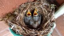 Lintujen pesintä onnistui vuosien tauon jälkeen: moni pikkulintu ehti pesiä kahdesti
