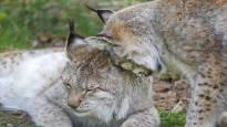 Ilveksen metsästystä vähennetään lähes puoleen