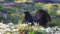 Ministeriö: Metsäkanalintujen metsästysajat pidemmiksi